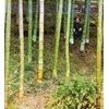 Бамбук Моозо, Чаква.jpg