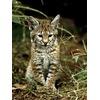 baby-bobcat_229_600x450.jpg