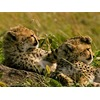 cheetahs-grass-kenya_22651_600x450.jpg