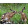 hares-italy_31783_600x450.jpg