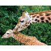 mother-baby-giraffe_52104_600x450.jpg