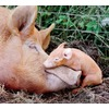 mother-baby-pig_52319_600x450.jpg