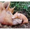 mother-baby-pig_52319_600x450.jpg