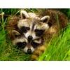 raccoon-pairs_32055_600x450.jpg