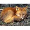 red-fox_679_600x450.jpg