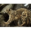 snow-leopard_712_600x450.jpg