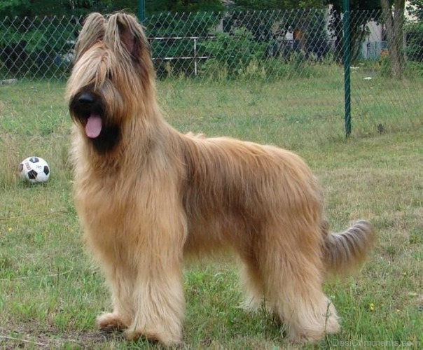 Изображение с http://www.desicomments.com/wp-content/uploads/Brown-Briard-In-Park-id043.jpg