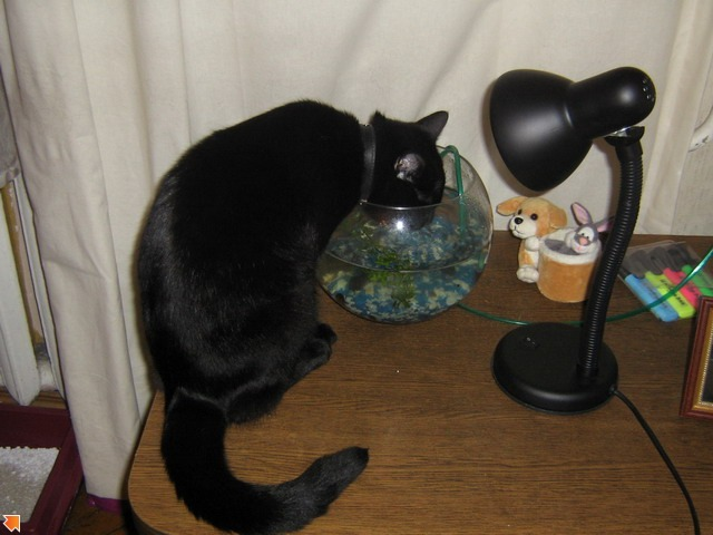 Питерский Кот пьет только из аквариума