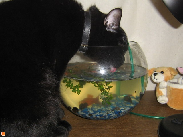 Питерский Кот пьет только из аквариума_подробнее