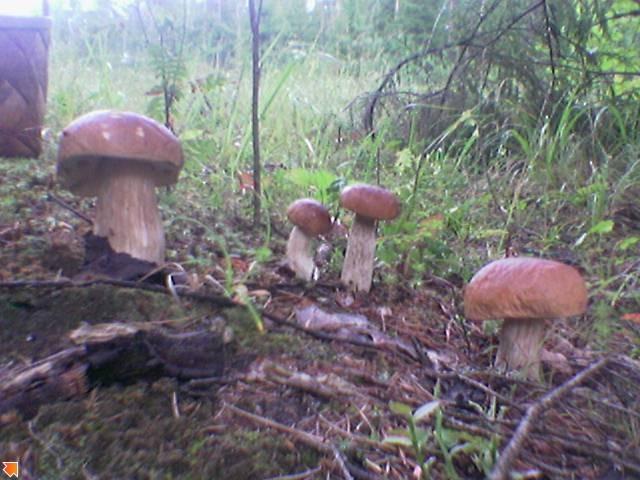 Семейка белых грибочков