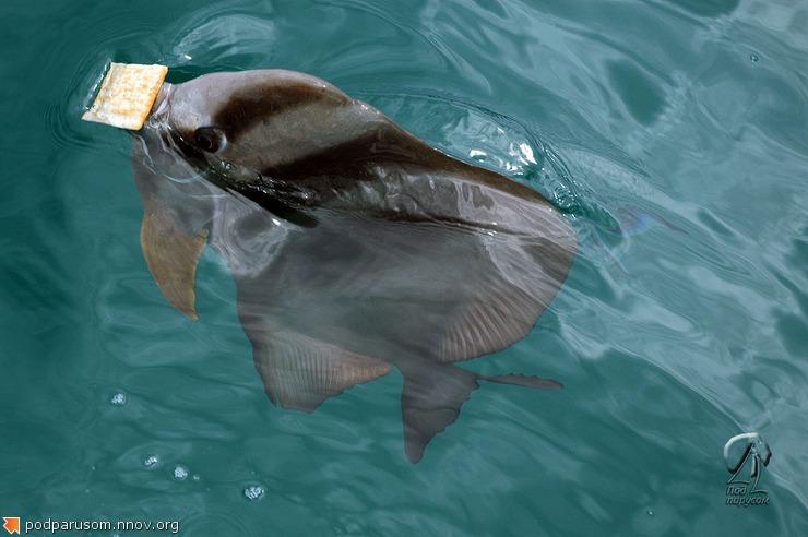 Рыба-сковородка