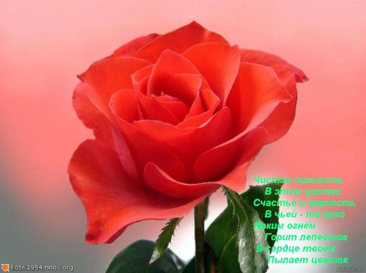 13. Роза.jpg