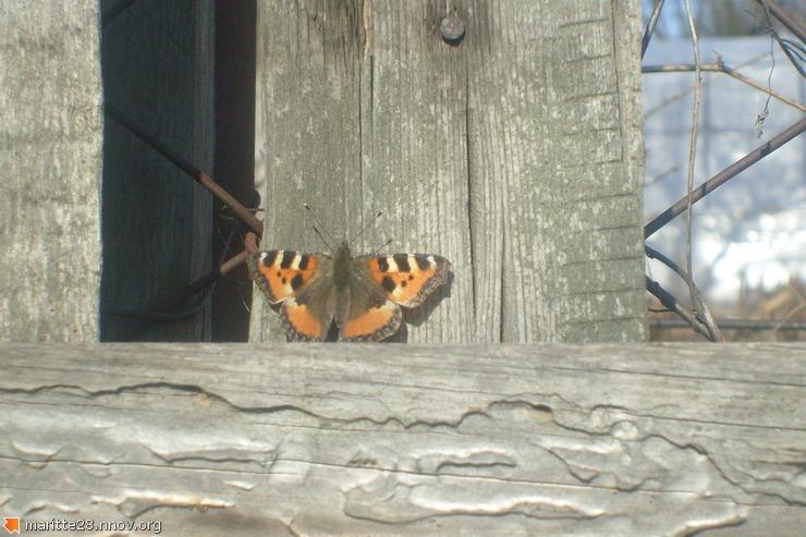 Первая бабочка