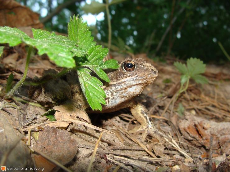 Лесная жаба