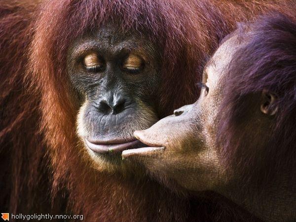 orangutan-kiss_32136_600x450.jpg