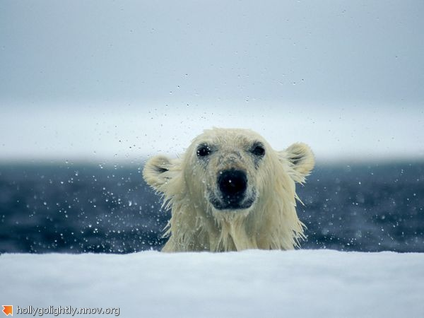 polar-bear-wet_667_600x450.jpg