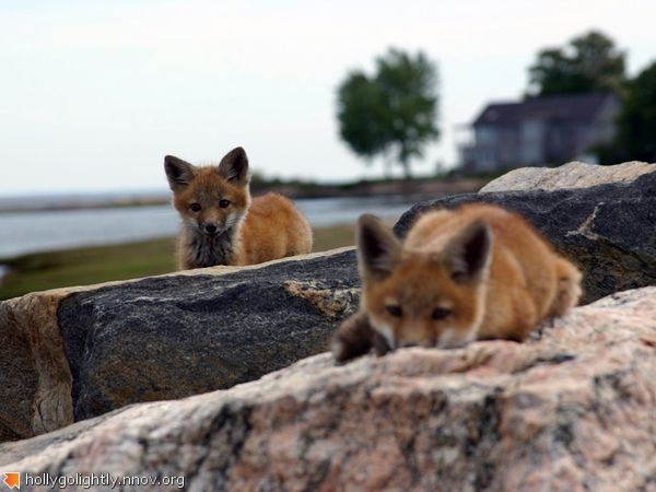 red-foxes-connecticut_22669_600x450.jpg