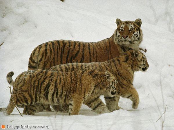 siberian-tiger-snow_708_600x450.jpg
