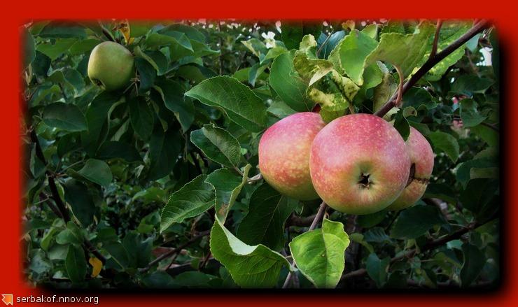 красные яблоки.jpg