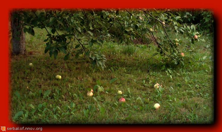летние яблоки.jpg