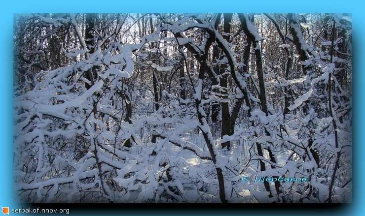 Снежные ветки под солнцем.jpg