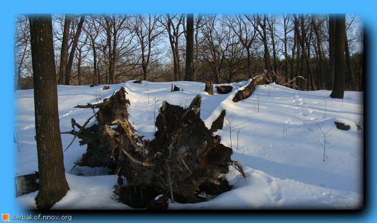 поваленный дуб.jpg