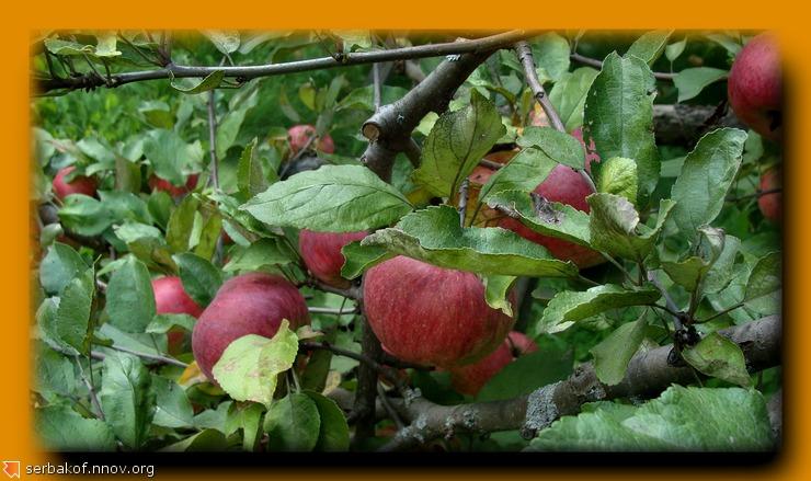 яблоки 2.jpg