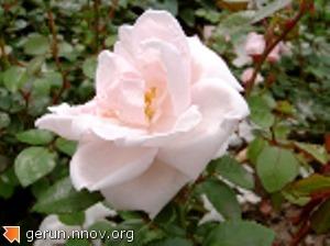 роза - героиня моих стихов