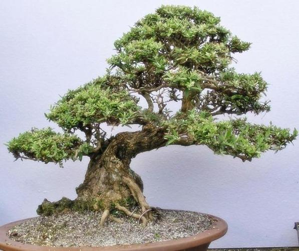 bonsai-902.jpg